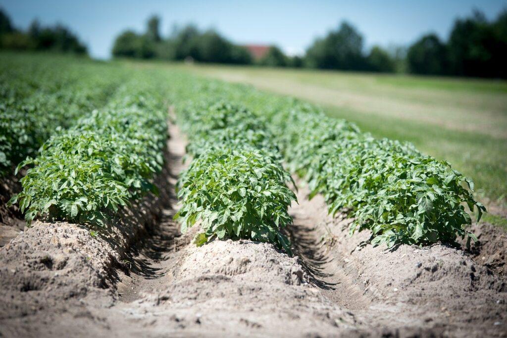 Desykacja ziemniaków - co to takiego?