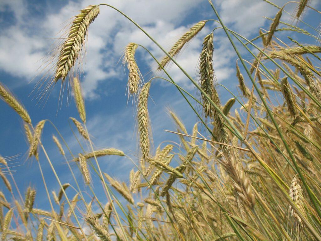 Jesienne niedobory mikroelementów wśród zbóż
