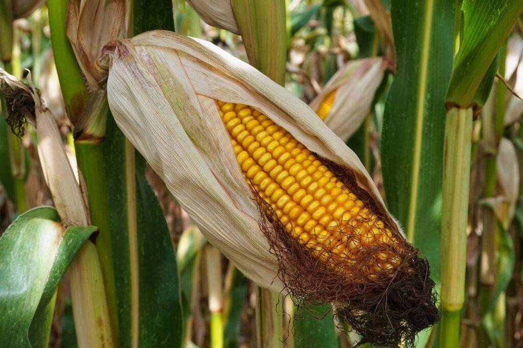 Jak ochronić uprawę kukurydzy przed dzikami?