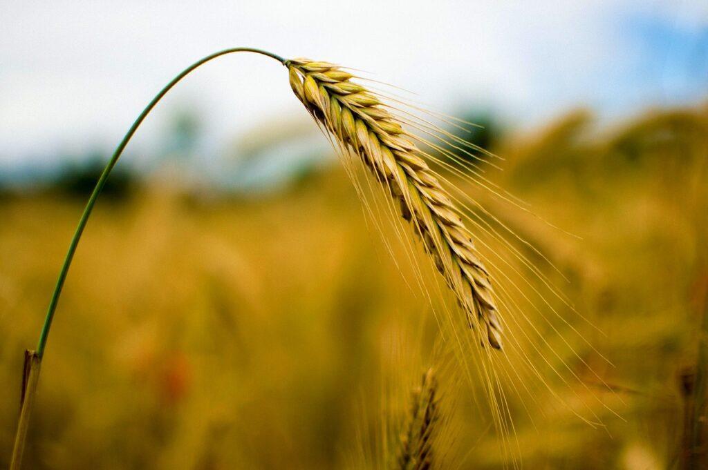 Żyto hybrydowe - zalety upraw